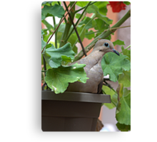 Dove in Pot Canvas Print