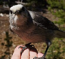 One of My Gray Jays by Betsy  Seeton