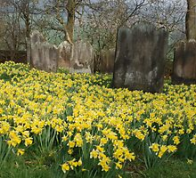 Daffodils by the old yard by Ulla Vaereth