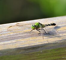 Common Green Darner ( Anax junnes ) by Jeff Ore