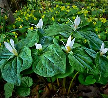 First Ones Out ~ Wild Trilliums ~ by Charles & Patricia   Harkins ~ Picture Oregon