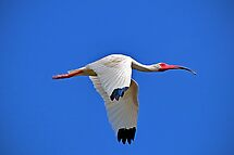 White Ibis by venny