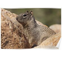 Rock Squirrel  Poster