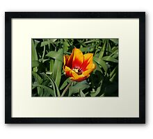 FIRST SPRING TULIP Framed Print