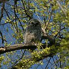 Young Barred owl by ffuller