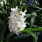 Dreamy Hyacinth by kathrynsgallery