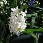 Dreamy Hyacinth by kathrynsgallery