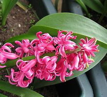 Fallen from Grace - Pink Hyacinth Beauty by MidnightMelody