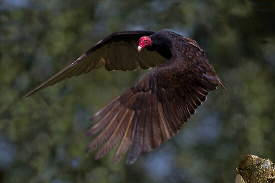 Turkey Vulture - Arenal Region, Costa Rica by Stephen Stephen
