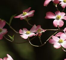 Branch of the Dogwood tree....  by Ruth Lambert