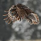 Great Gray Owl Hunting by Ron Kube