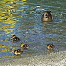 Ducks on the Lake 2 by Alison Murphy