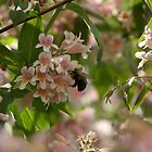 Bumble Bee in Pink Cloud Bush by ffuller