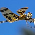 Golden Dragonfly by Lincoln Stevens