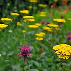 Achillea by Pete  Burton