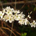 Hawthorn Blossom  by Fara