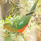 Australian King Parrot at Sheepyard Flat #2 by Aden Brown