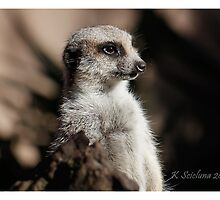 Meerkat in the shadow by bluetaipan