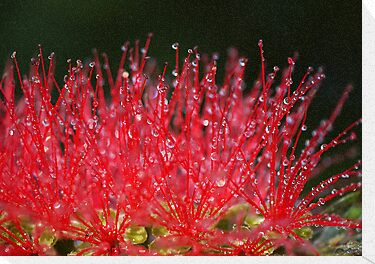 Bottle Brush #2 by SharonD