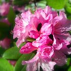 Rhododendron Bloom 2 by Debbie Meyers