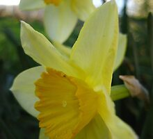 Daffies by millymuso