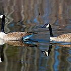 Canada Geese by Richard Lee