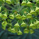 Euphorbia Pods 2 by teresalynwillis