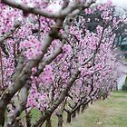 Clouded Cherry Blossoms #2 by Dory Breaux