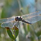 Glass Wings by RielTeris