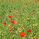 poppy field by Anne Scantlebury