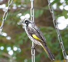 New Holland Honeyeater Ready for the plunge, Adelaide Hills. by Rita Blom