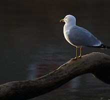 Sunset Gull by Alinka