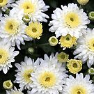 Chrysanthemums ~ From Bud to Bloom by SummerJade