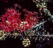 Red spiky thing Bluff Knoll Stirling Ranges Wetern Australia198208300040 by Fred Mitchell