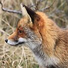 Red Fox 3340 by DutchLumix