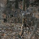 White tail deer by ffuller