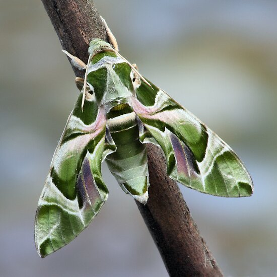 Daphnis nerii by jimmy hoffman