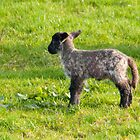 Spring Lamb by M.S. Photography & Art