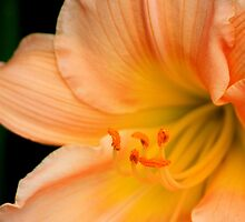 Luscious Lily by AuntDot