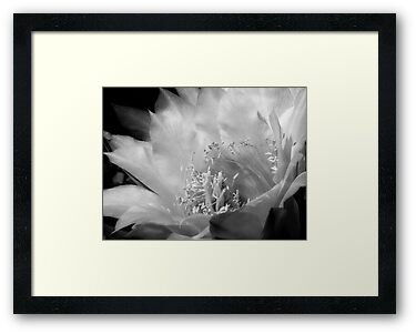 Trichocereus Bloom in Black & White by Lucinda Walter
