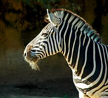 Old Zebra by Antoine de Paauw
