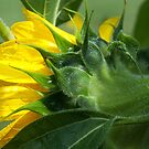 Blooming New Sunflower by ©  Paul W. Faust