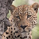 My leopards of africa by jozi1
