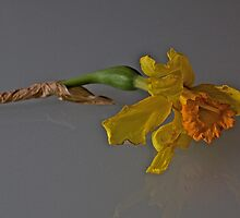Mello yellow-fallen daffodil by mypic