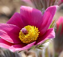 Anemone - Pasque Flower II by vbk70