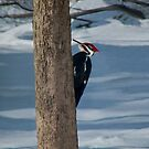 Pileated Woodpecker by Marcia Rubin