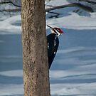 Pileated Woodpecker by Marcia Rubin