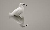 Egretta Thula (Snowy Egret) by Monte Morton
