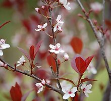 Purple Leaf Plum Blossoms by zpawpaw