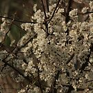 flower Dogwood by ffuller